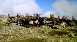 Cabras Montesas: Sobrepoblación el Guadarrama desde hace años.